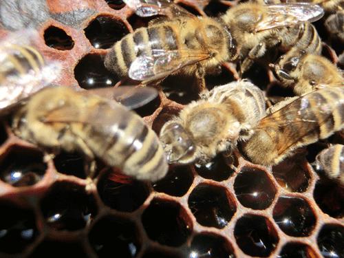 Foto: Biene mit DWV – Flügel-Deformierungsvirus- Helmut Graf