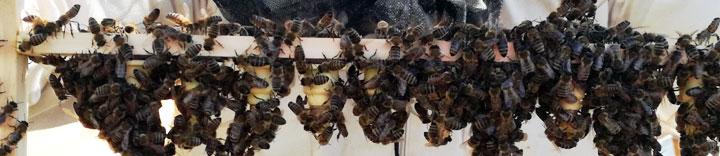 Bienen auf einem Zuchtrahmen